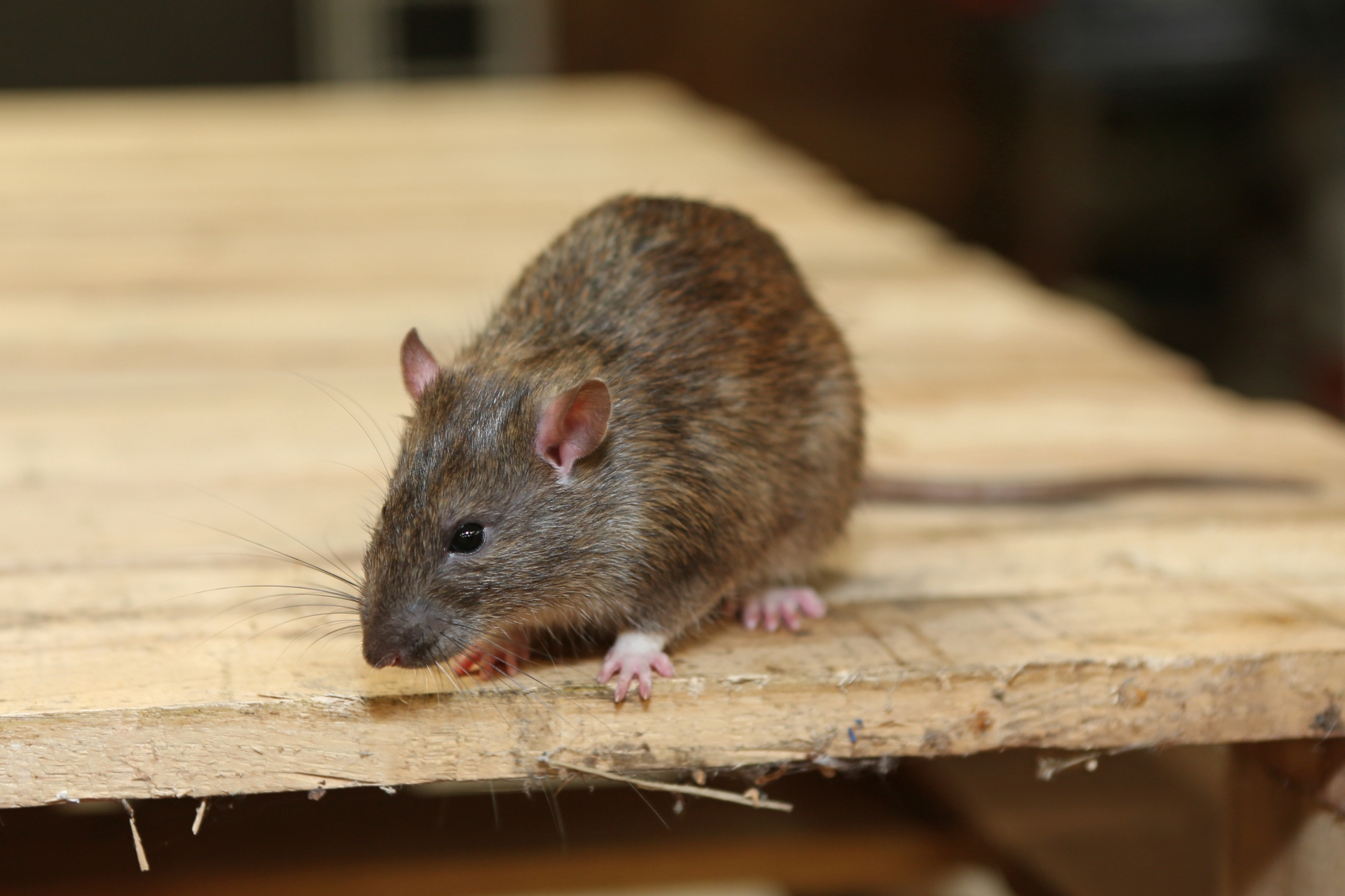 Rat extermination, Pest Control in Gidea Park, Heath Park, RM2. Call Now 020 8166 9746