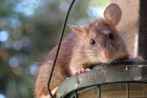 Rat Control, Pest Control in Gidea Park, Heath Park, RM2. Call Now 020 8166 9746